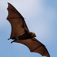 animal totems bats symbolism: bat flying
