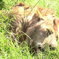 animal totem symbol: lion asleep
