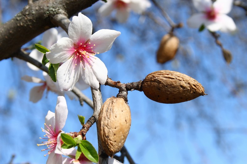Almond tree what is your sign tree