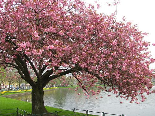What is your tree sign Cherry tree blossom
